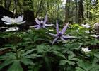 (写真)かたくり。中央アルプスの麓では高山植物が広がっています。